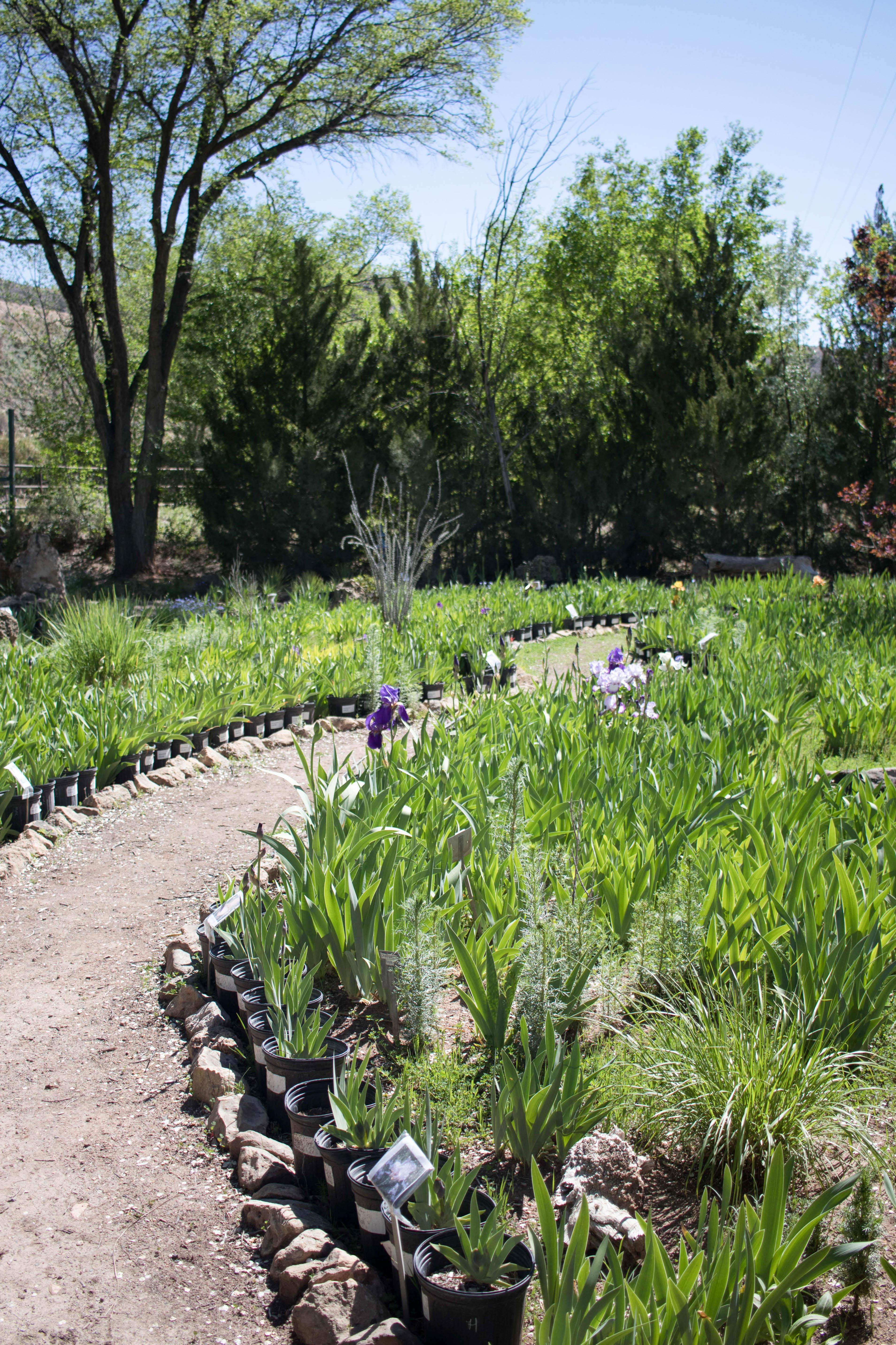hondo iris farm Ruidoso New Mexico #irisfarm #flowers #iris